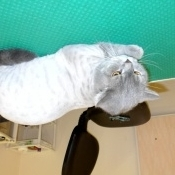 Кот британец после стрижки