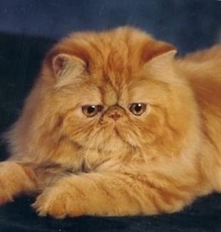персидская кошка лежит