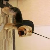 Йоркширский терьер с хвостом на голове на грум-столе